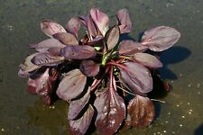 Live Red Plantain Major Rubrifolia Winter Hardy Marginal Aquatic Pond Plant