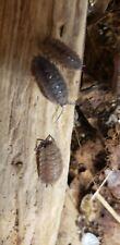 CalioCo Isopods X 10