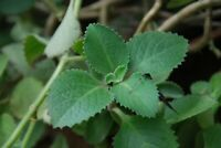 Cuban Oregano healing/cooking herb makes a great houseplant
