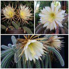 10 semi di Selenicereus validus ,piante grasse,seeds cactus