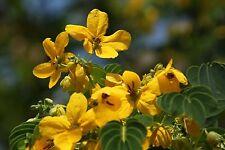 200 Cassia Grandis Seeds Herb Medicine Coral Tree Senna obtusifolia Sunshine