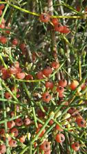 Ephedra médicinale Ephedra Fragilis 60 graines fraîches