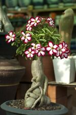 Desert Rose Plant (Adenium obesum) - Picotee Color (Red and White) - Bonsai