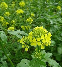☺1000 graines de moutarde blanche / engrais vert