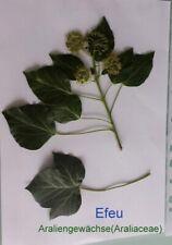 Efeu (Hedera helix), Heilpflanze, für Herbarium,    Araliengewächse