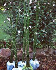 18x Horsetail Garden & Pond Plants Live Plants