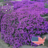 50 Aubrieta ROCK CRESS Seeds 🌺 PURPLE GROUNDCOVER 🌺 Cascading Perrenial  USA