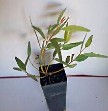 Eucalyptus corrugata (Gum Tree) in 50mm forestry tube native plant tree