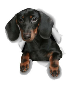 """NEW 8"""" x 7"""" Realistic Black Dachshund Hanging Out Car Laptop Wall Vinyl Decal"""
