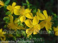 🔥🌿 Johanniskraut Hypericum Heilpflanze Kräuter 50 frische Samen Balkon