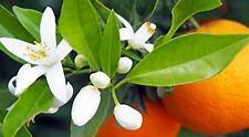 4 oz Candle Scent Oil-Orange Blossom