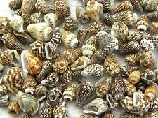 26g Approx 150 Beige & Brown Speckled Extra Small Spiral Shells