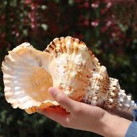 22cm Natural Tutufa Rubeta Conch Shells Coral Sea Snail Fish Tank Home Ornament