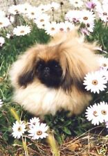 Pekingese A6 Blank Card Design No 8 By Starprint