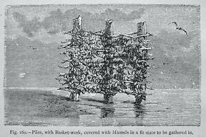 Mussels Culture - PILES with BASKET WORK Original Victorian Print Figuier c1891