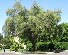 Pepperina/Peppercorn Tree Seeds - XX Hardy Evergreen Medium Tree