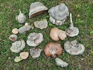 Zunderschwamm Baumpilze  große u. kleine   ca.1,5 kg Basteln, Terrarium, Deko