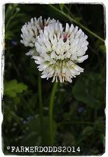 Trifolium Repens' trébol blanco » [ ex. Co.. Durham ] 1000 + Semillas
