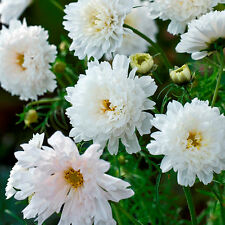 Kings Seeds - Cosmos Double Click Snowpuff - 60 Seeds