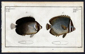 1782 BLOCH'S FISHES Chaetodon Collare – Die Halsbinde – Le Collier – The Collar