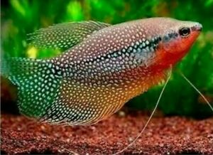 2 PEARL GOURAMI 2 TO 3 INCHES JUVENILES FREE SHIPPING