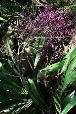 Bromeliad Aechemea spectabilis Fresh Seed 20+