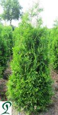 Thuja Brabant 140-160 cm inkl. Versand 20 x Lebensbaum Heckenpflanzen 325,- €.