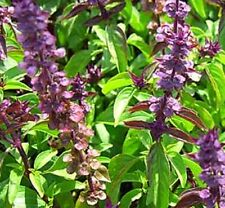 LIQUORICE Basil fragrant tangy edible herb plant in 100mm pot