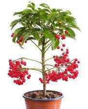 Zimmerpflanze Blume Wintergarten Samen Saatgut Exot Baum Exot i! SPITZBLUME !i