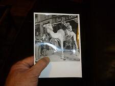 Photographie Chameau Dromadaire Camel à Marseille au Bar de l Entracte 1950 + -