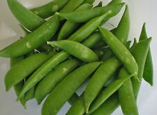Vegetable Pea Sugar Snap Appx 300 seeds  Super sweet