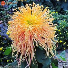25 Seeds Fireworks Orange Yellow Chrysanthemum Good quality Flower Seeds