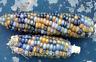 Corn Glass Gem Rayaa - A Beautiful Blue-Orange Colored Glass Gem Corn Variety!!