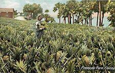 Vintage Postcard Pineapple farm in Florida FL Agrigulture