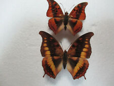 Entomologie Nymphalidae Charaxes nichetes bouchei Rare Couple RCI-Banco