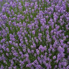 English Lavender Flower Seeds - Herb
