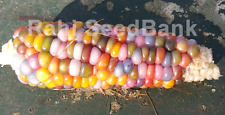 Corn Calico Rainbow - A Rare, Stunning Multicoloured Corn Variety!!!