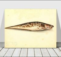 VINTAGE FISH ART - Ling - CANVAS ART PRINT POSTER - 18x12""