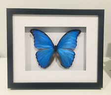 Framed butterfly, Stunning Giant Blue Morpho Didius, insect taxidermy