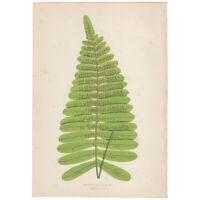 Lowe Exotic Ferns antique 1872 botanical print, Pl 33 Polypodium Claucum