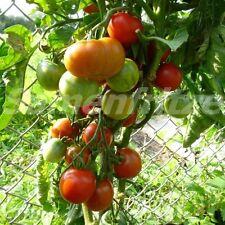 10 Samen Outdoor Girl Tomate - sehr frühreifend und robust