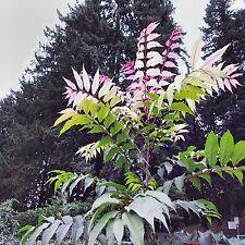 CHINESE CEDAR SEEDS TOONA SINENSIS FLOWERING TREE MEDICINAL 100 SEED PACK