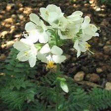 Jacob's Ladder(Polemonium Caeruleum) White- 50 seeds