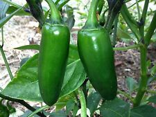 30+ Grande Jalapeno Seeds (chili, chile) Hot, huge, & giant for Salsa