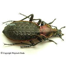Coptolabrus nankotaizanus - male, beautiful!
