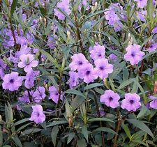 Live Ruellia Mexican Blue Bell Bog Pond Plants from Ailyns-Pond and water garden