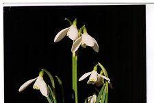 Postcard: Galanthus Nivalus - Common Snowdrop