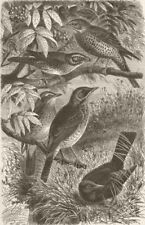 Thrushes. Missel; Redwing; Song; Fieldfare; Blackbird 1894 old antique print