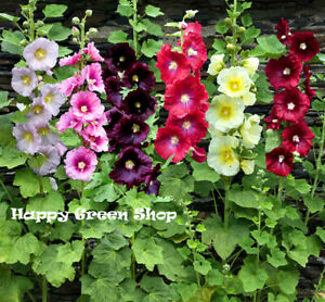 HOLLYHOCK SINGLE MIX - 110 SEEDS -  Alcea ficifolia - PERENNIAL TALL  FLOWER