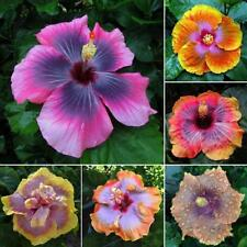 Giant Hibiscus Exotic Coral Flowers Seeds Rare Mixed Color 100 Seeds New CN